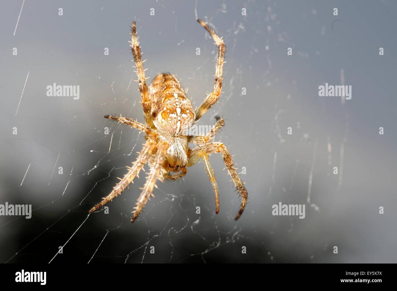Cross orbweaver on its web - France - Stock Image