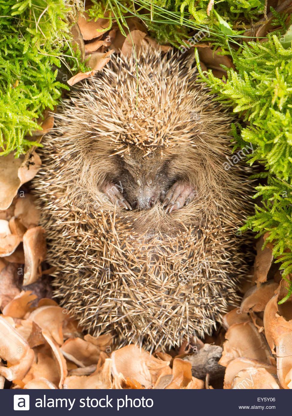 Hedgehog in a garden - Stock Image