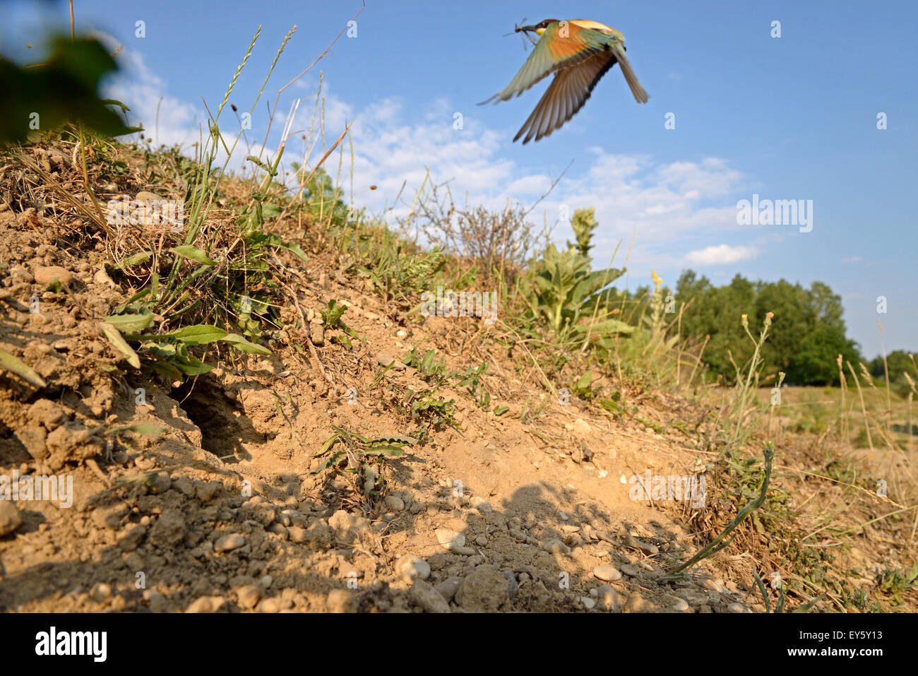 European Bee-eater flying - Low Doubs Valley France - Stock Image
