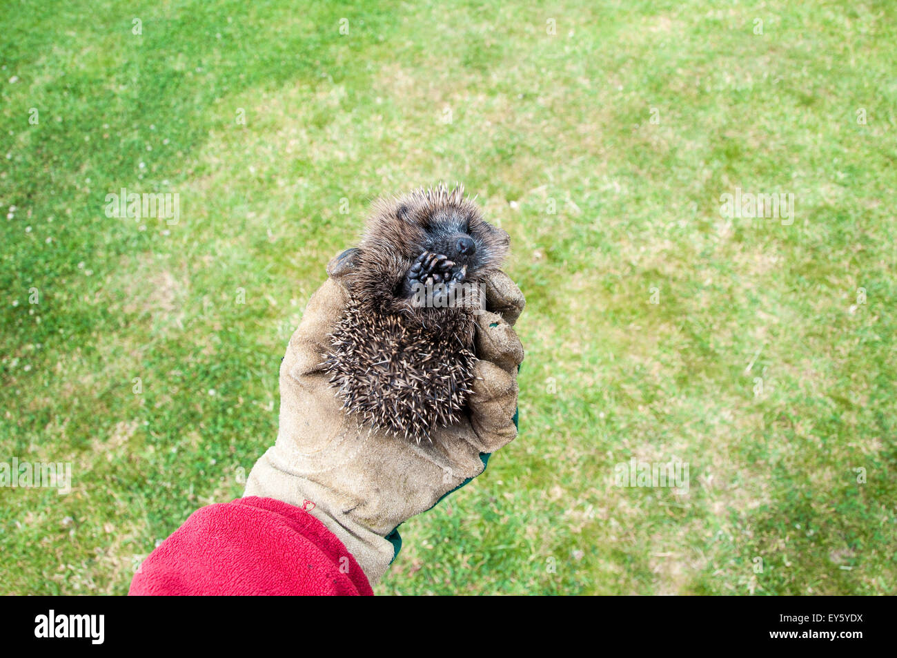 Gardener holding a young hedgehog - Stock Image