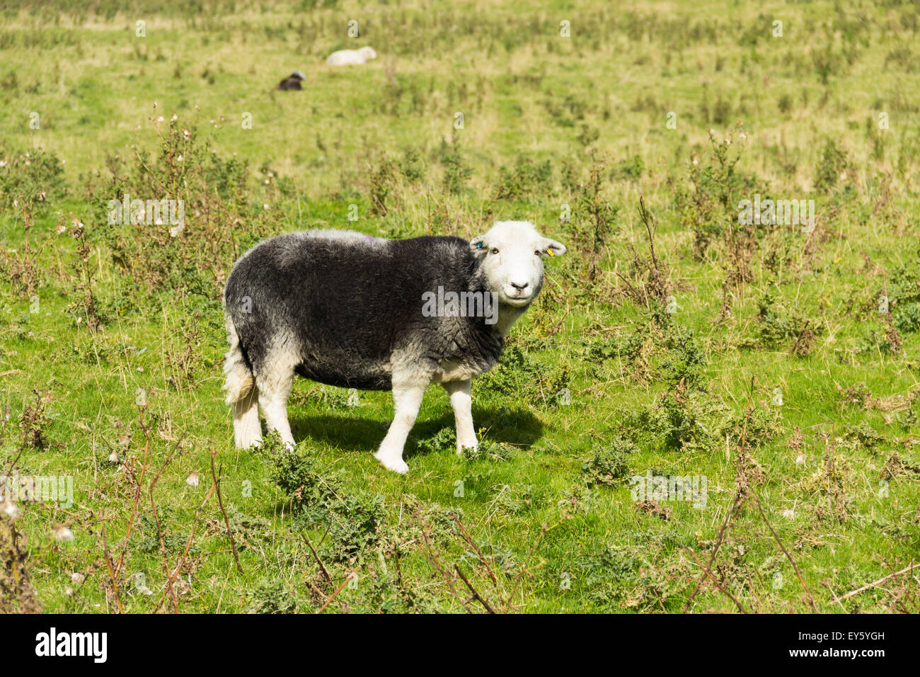 Herdwick sheep on Lancashire moorland. Herdwicks are a hardy breed of sheep native to the Cumbria and Lake District - Stock Image