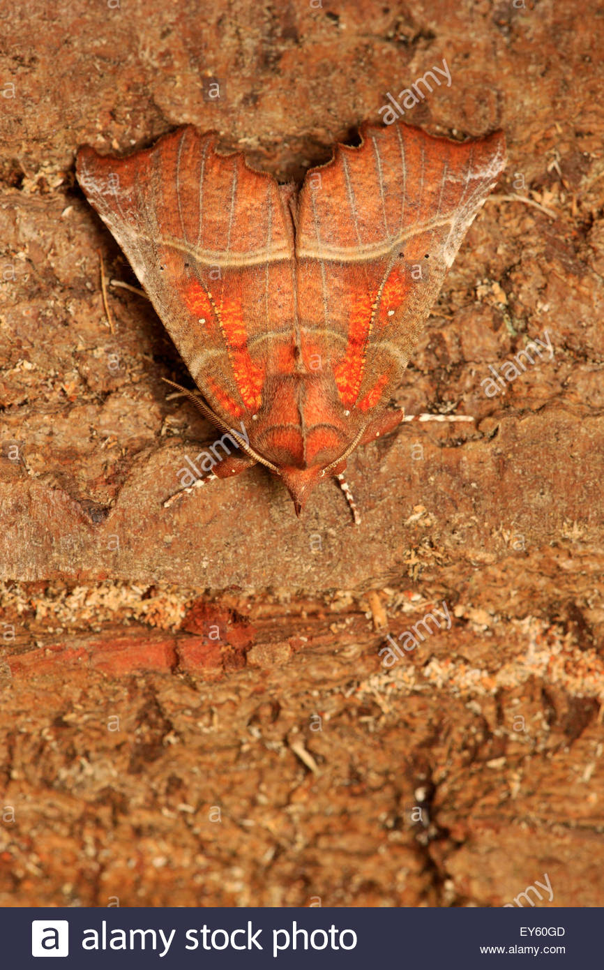 Herald hibernating on a log in a woodpile - Picardie France - Stock Image