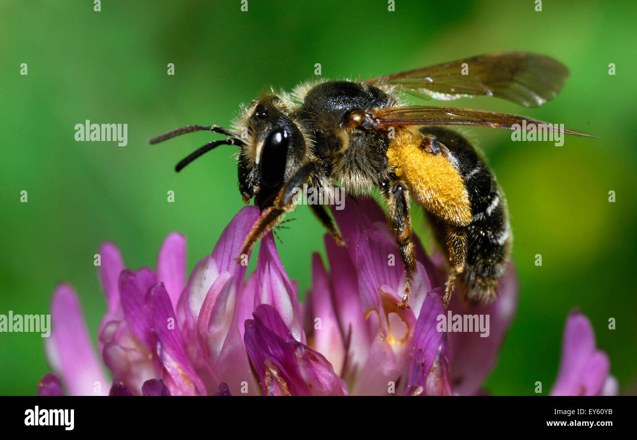 Flecked Hawthorn Mining-bee on Clover - Northern Vosges - Stock Image