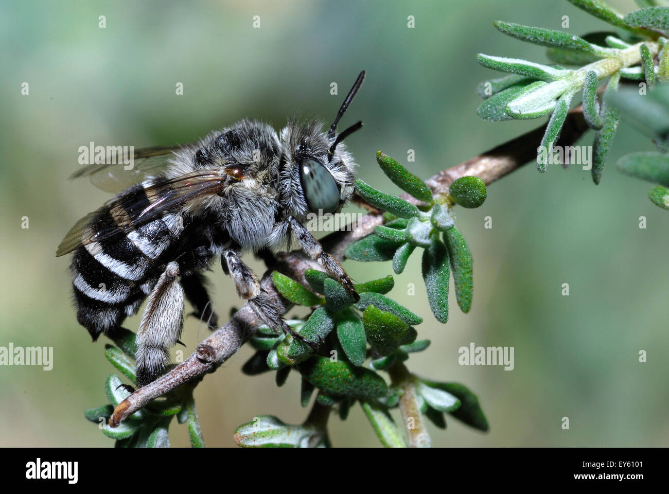 Anthophora Bee grooming on a twig - Ardeche France - Stock Image