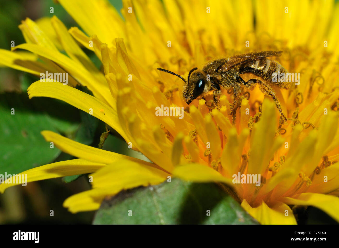 Mining Bee on Dandelion flower - Northern Vosges France - Stock Image