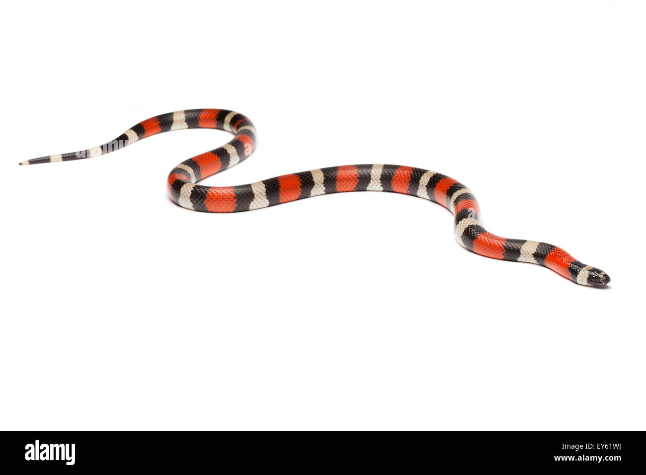 Puebla Milk Snake on white background - Stock Image