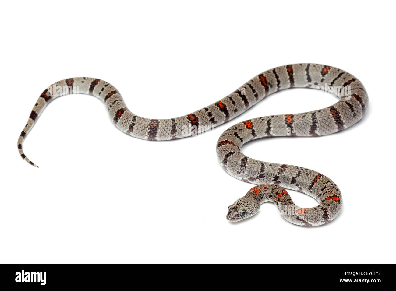 Gray Banded Kingsnake Stock Photos & Gray Banded Kingsnake