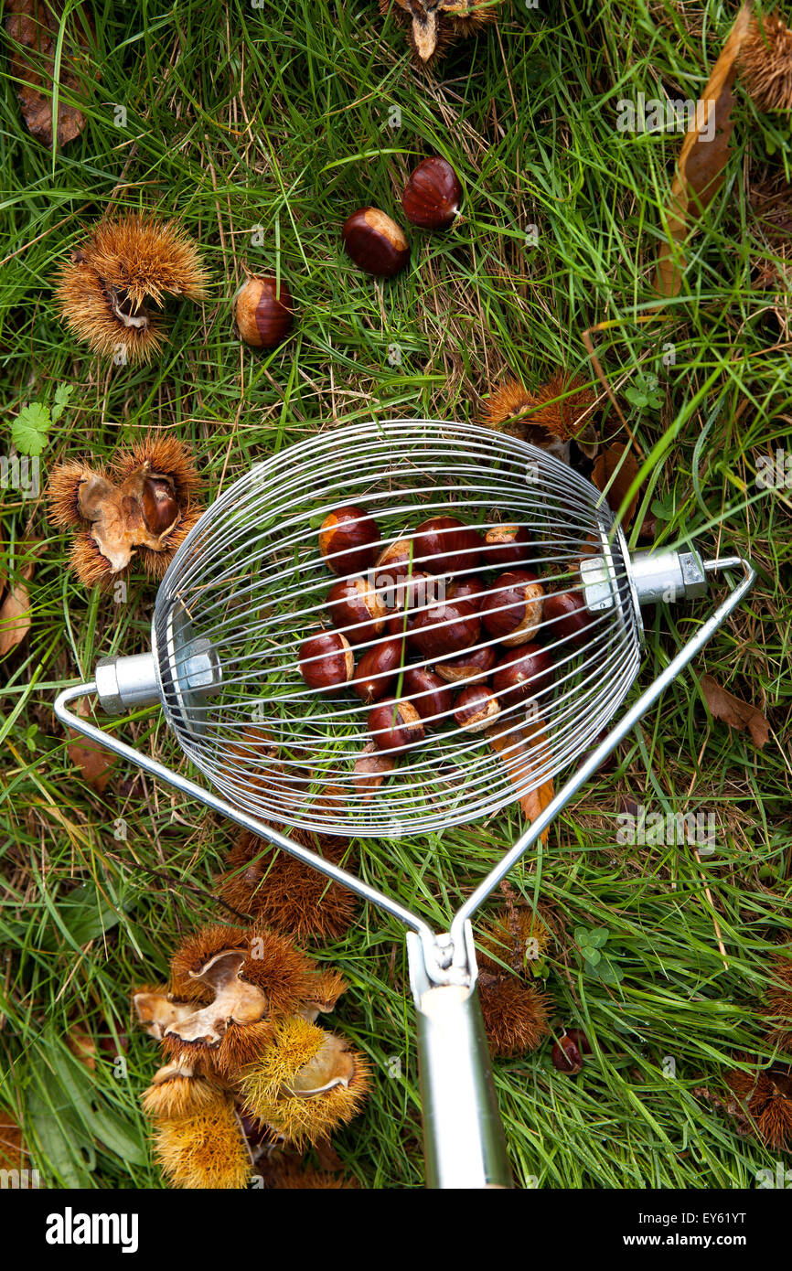 Tool to collect chestnuts or walnuts - France - Stock Image