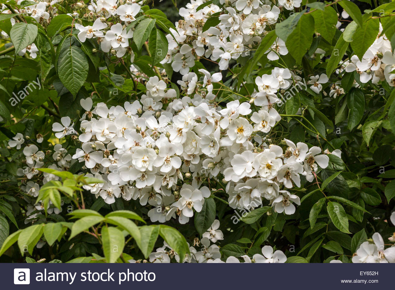 Rose - Rambling Rector - Stock Image