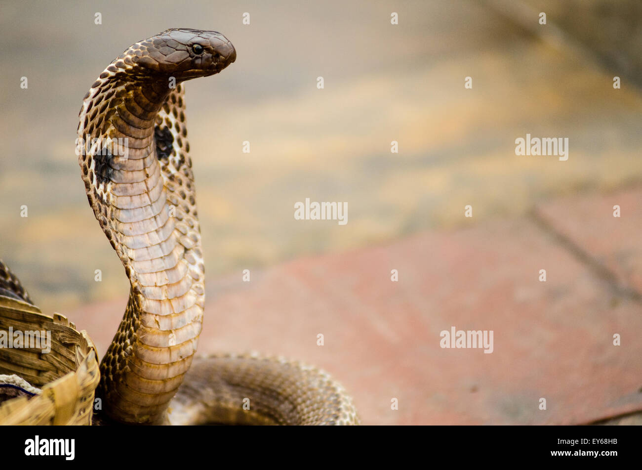 Standing Snake High Resolution Stock Photography And Images Alamy