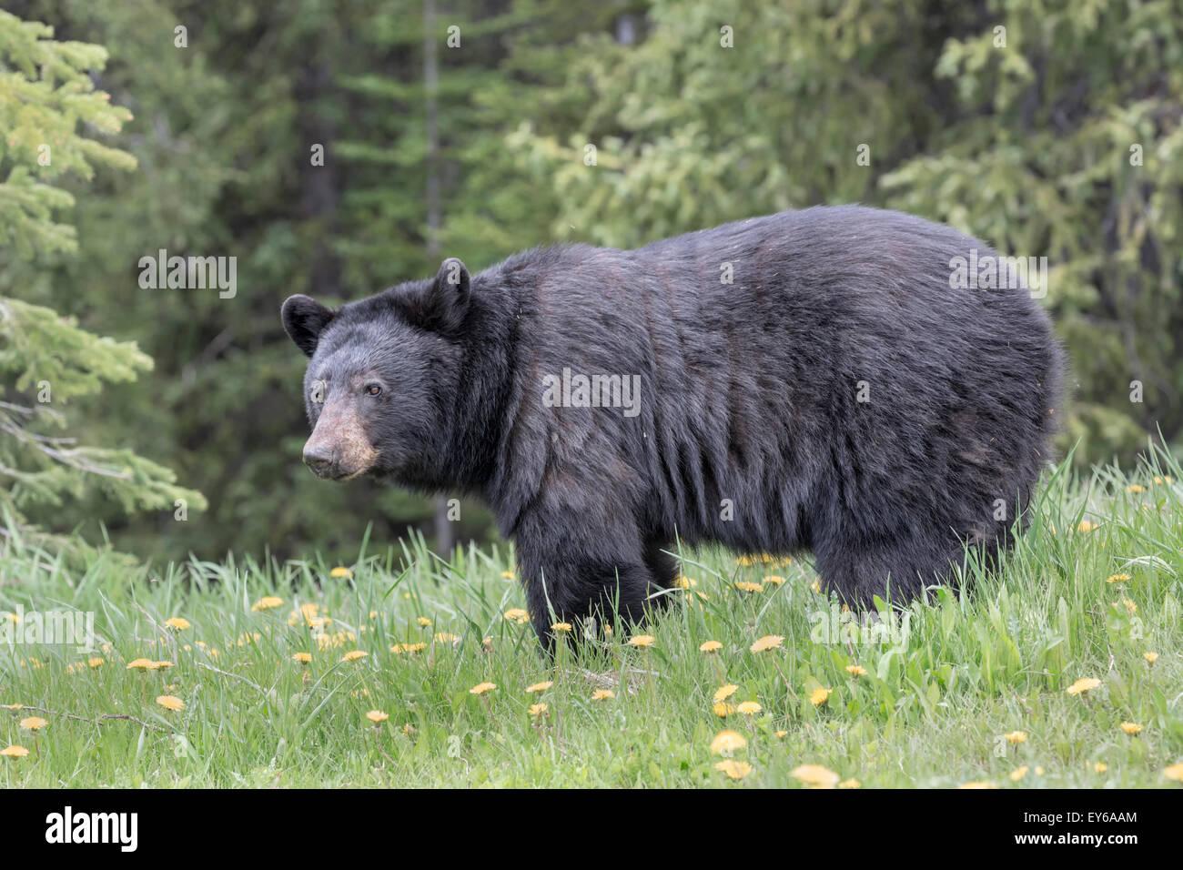 American Black Bear in dandelion meadow - Stock Image
