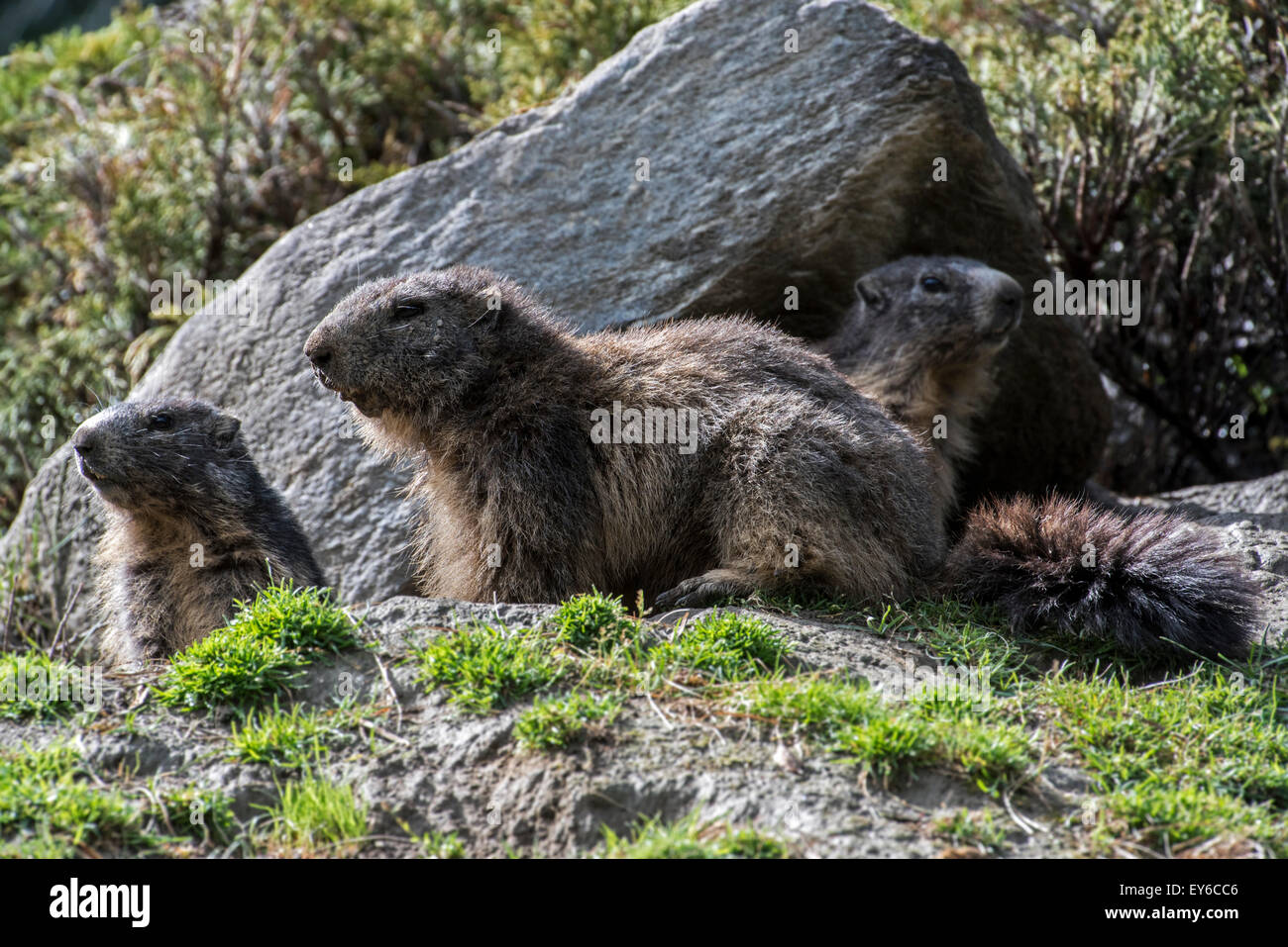 Alpine marmots (Marmota marmota) at burrow entrance under rock in the Alps - Stock Image