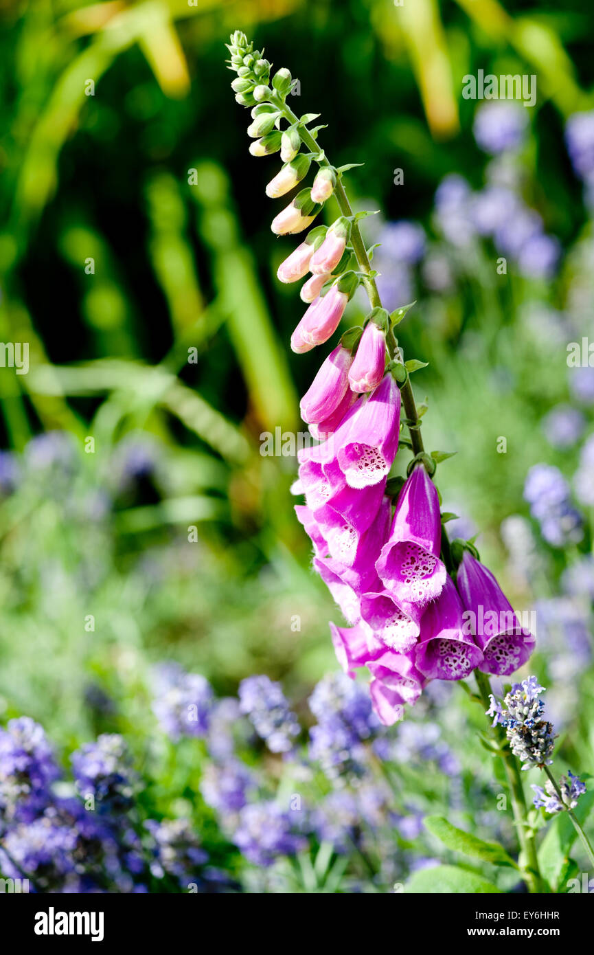 Pink foxgloves, digitalis, close up - Stock Image