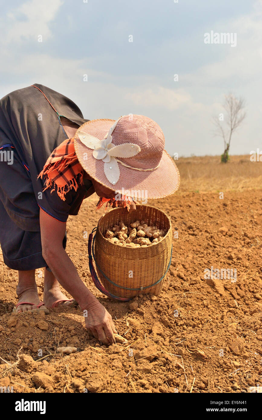 Farmer woman working in the fields planting  ginger in Shan State of Myanmar,  Constant toiling showed  her back - Stock Image