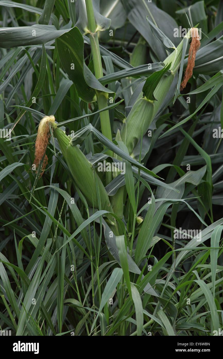Ears of corn on corn plants - Stock Image