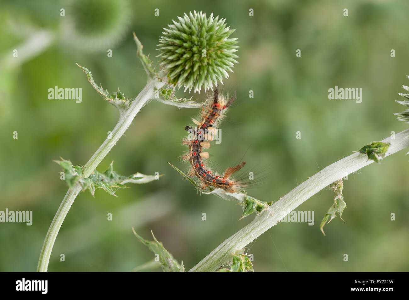 The Rusty Tussock Moth climbing amongst globe thistles it is a very hairy caterpillar and the irritating fine hairs - Stock Image