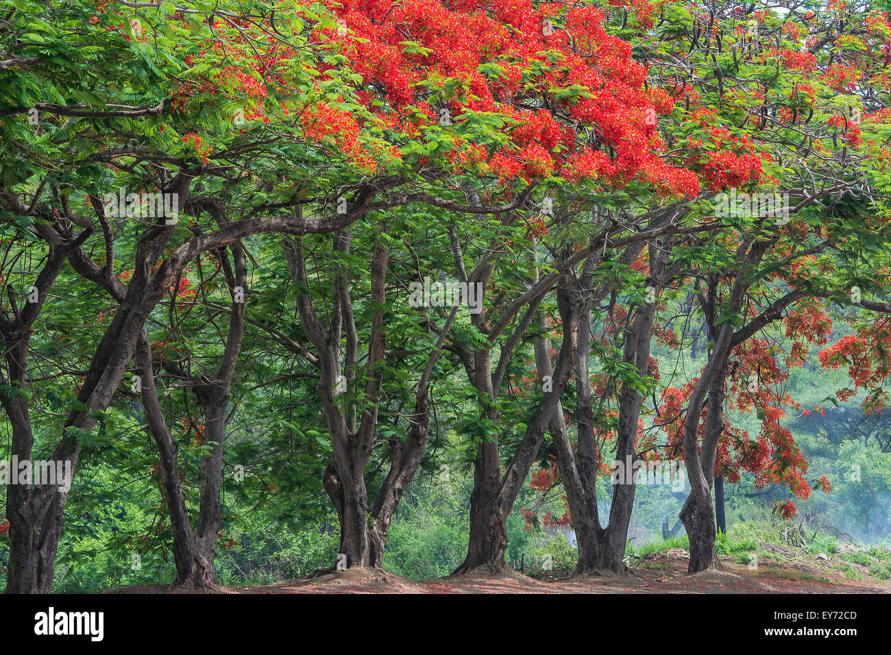 Alley of Royal Poincianas, also called Flame Trees, Africa - Stock Image