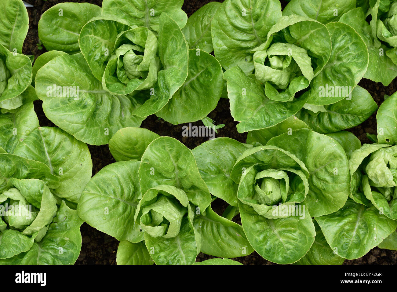 Little Gem Romaine Lettuce in a garden. Top view. Small lettuces growing in a row in a garden. Organic gardening. - Stock Image