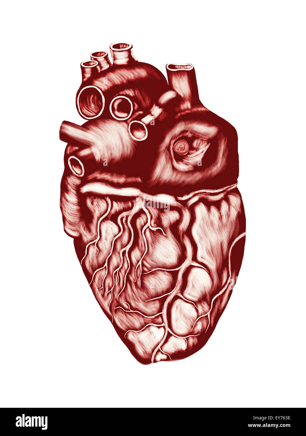 Human Heart Anatomy: chambers, valves and vessels, isolated over ...