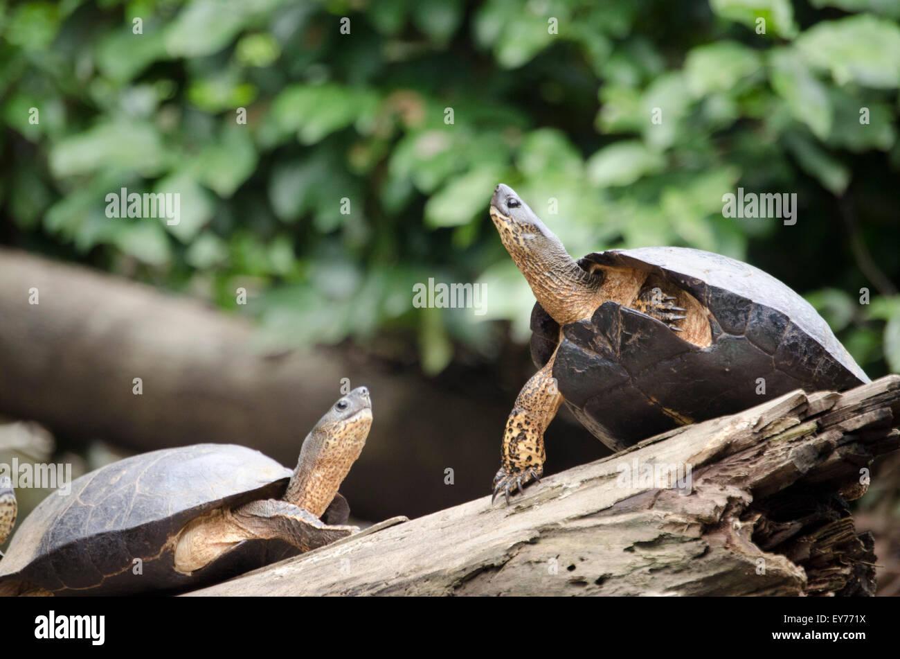 Turtle friends reach for the sun in the dense jungle of Costa Rica - Stock Image