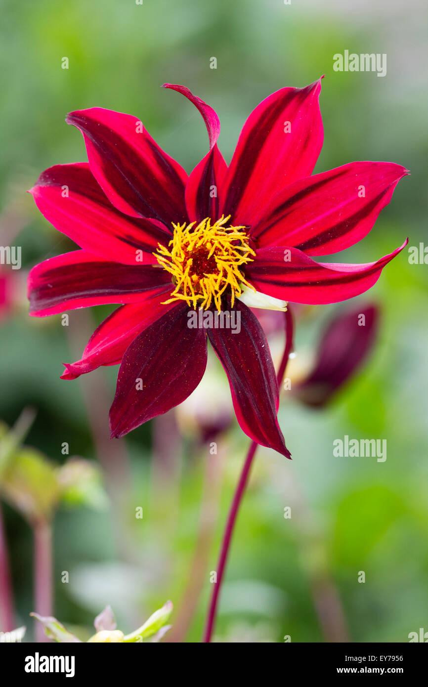 Single, dark striped red-pink flowers of Dahlia 'Dark Desire' - Stock Image