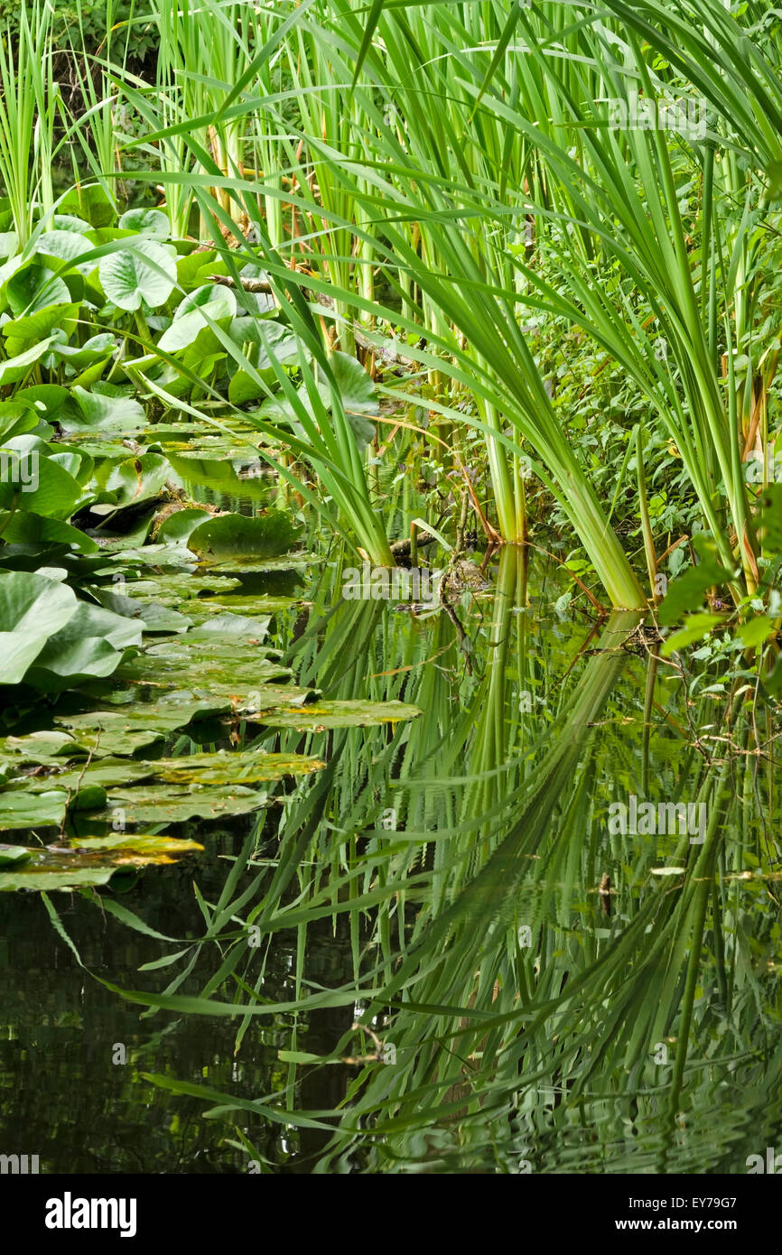 Reflections of water rushes in Belton House Lake, Lincolnshire, England, UK. - Stock Image