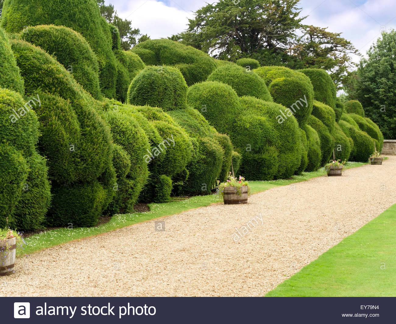 Elephant Hedge In Landscaped Gardens Of Rockingham Castle,  Northamptonshire, England, UK.