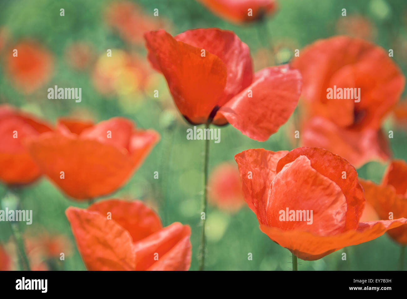 Close-up of red poppies (Papaver rhoeas) - Stock Image
