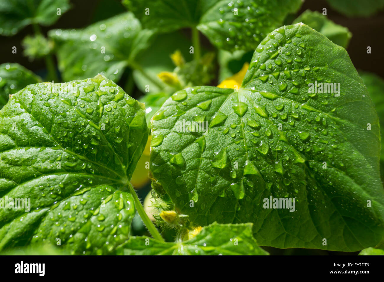 Green sheet cucumber with drop of water - Stock Image