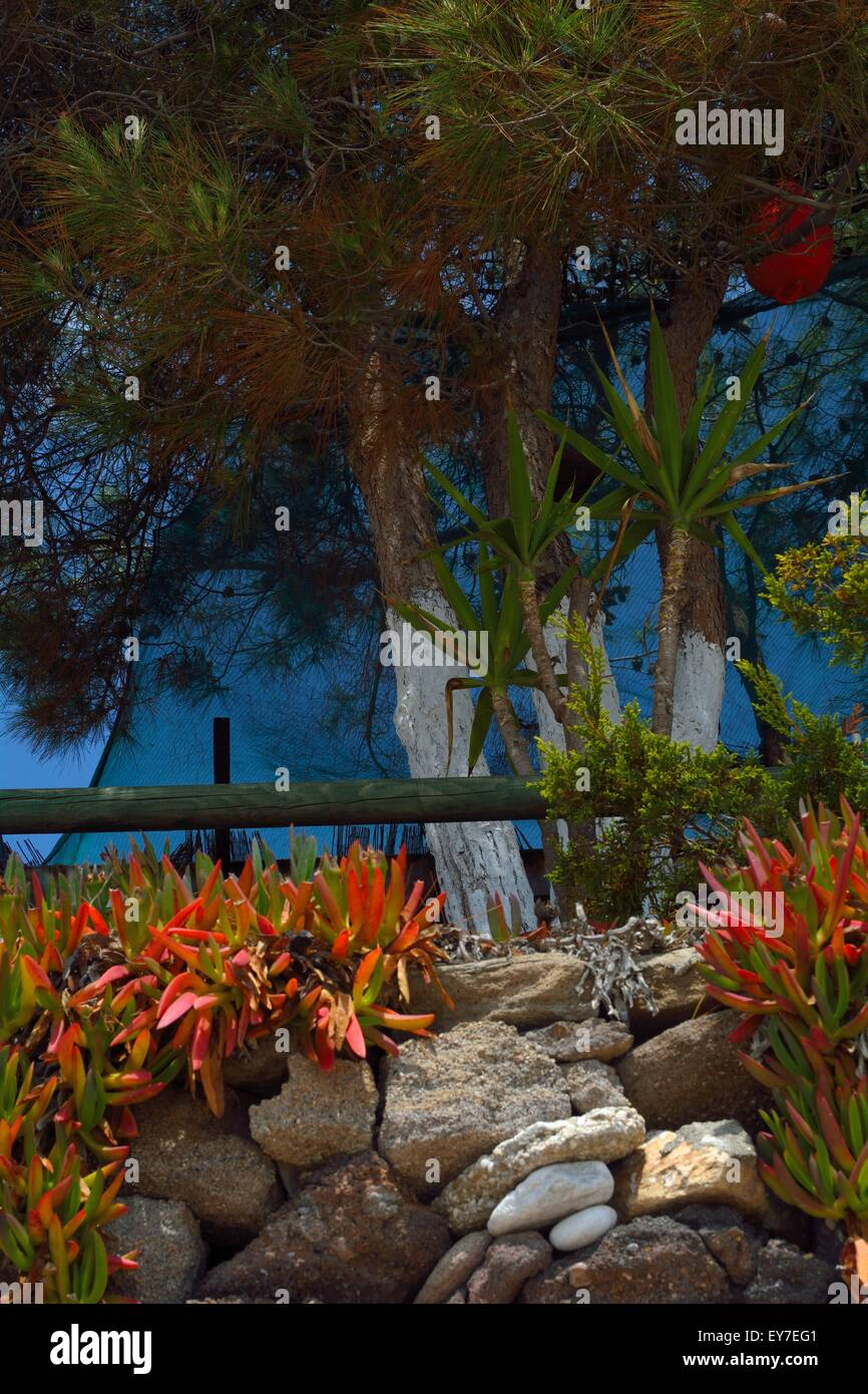 Aleppo pine tree with small palm tree and Delosperma - Stock Image