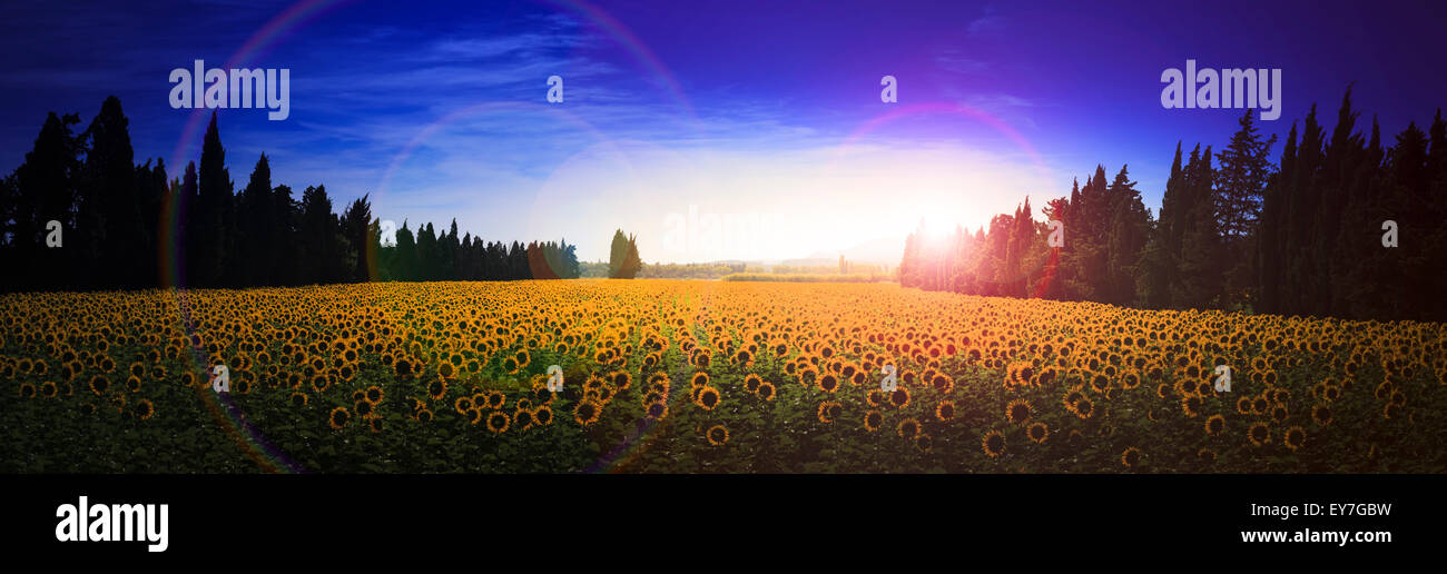 Extreme panorama of back view of sunflowers growing in a field looking to the morning sun - Stock Image
