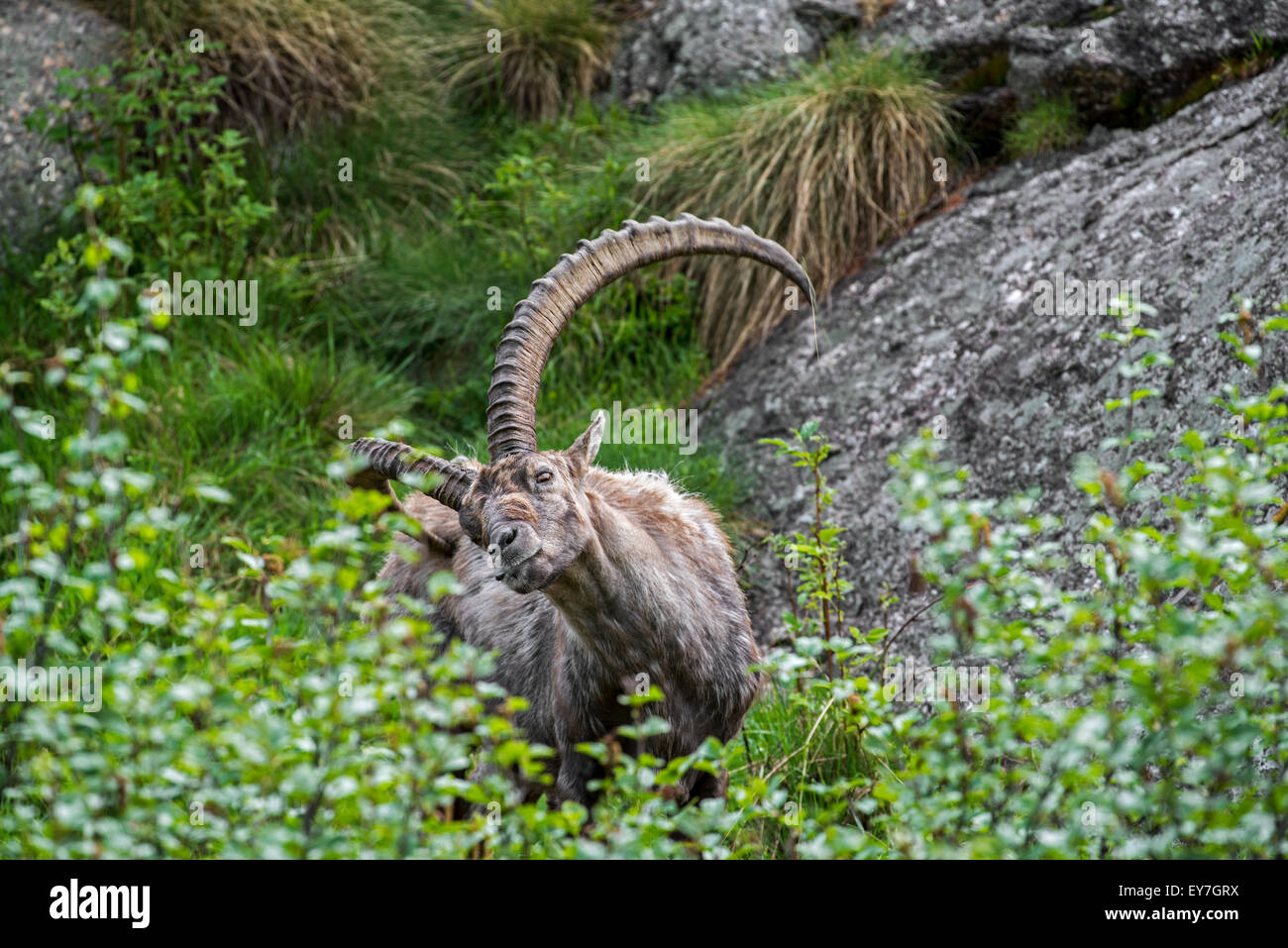 Male Alpine ibex (Capra ibex) scratching fur on his itchy backside with massive horn in the Alps in spring - Stock Image