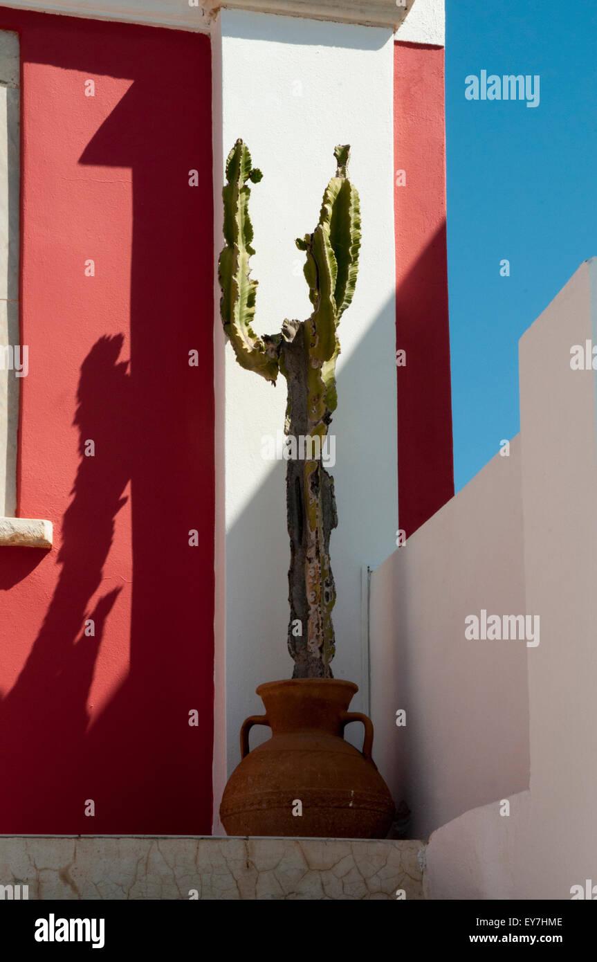Cactus growing in Oia on Santorini Island in the Aegean Sea.  Ein Kaktus wächst in Ia auf Santorini in der - Stock Image