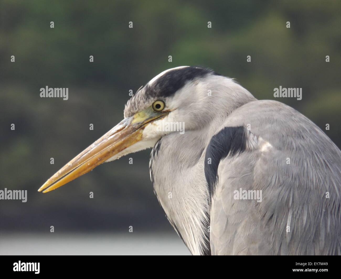 Heron of Union Hall - Stock Image