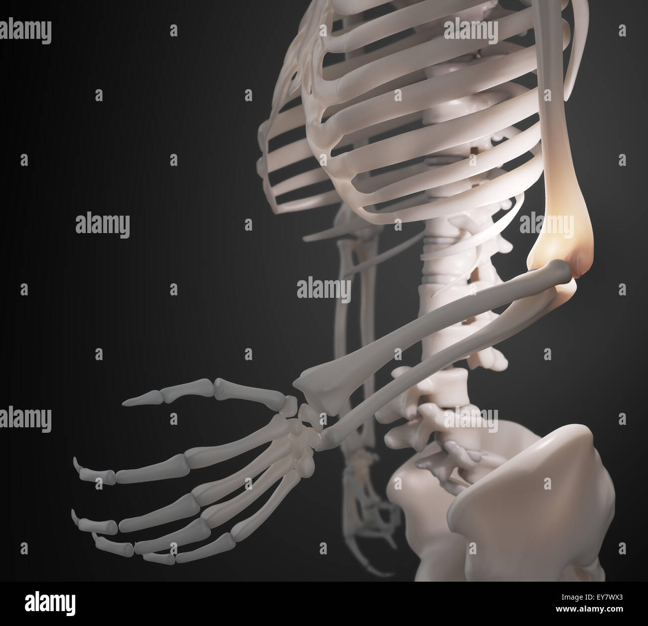 Human Skeleton Arm And Elbow Anatomy Stock Photo 85611179 Alamy