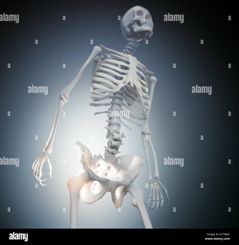 Human skeleton - hip and Stock Photo: 85611188 - Alamy