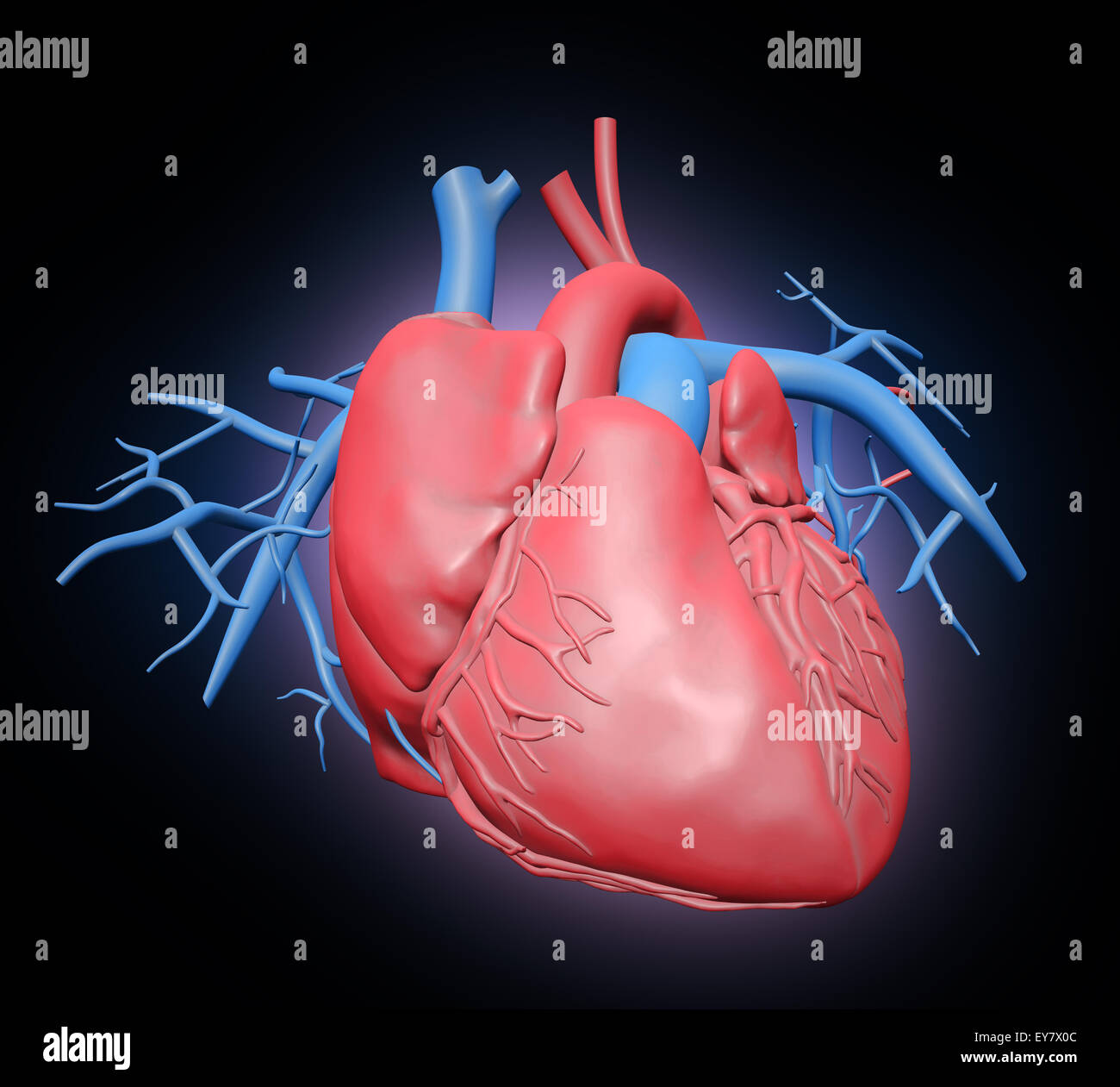 Human heart illustration - cardiovascular system - Stock Image