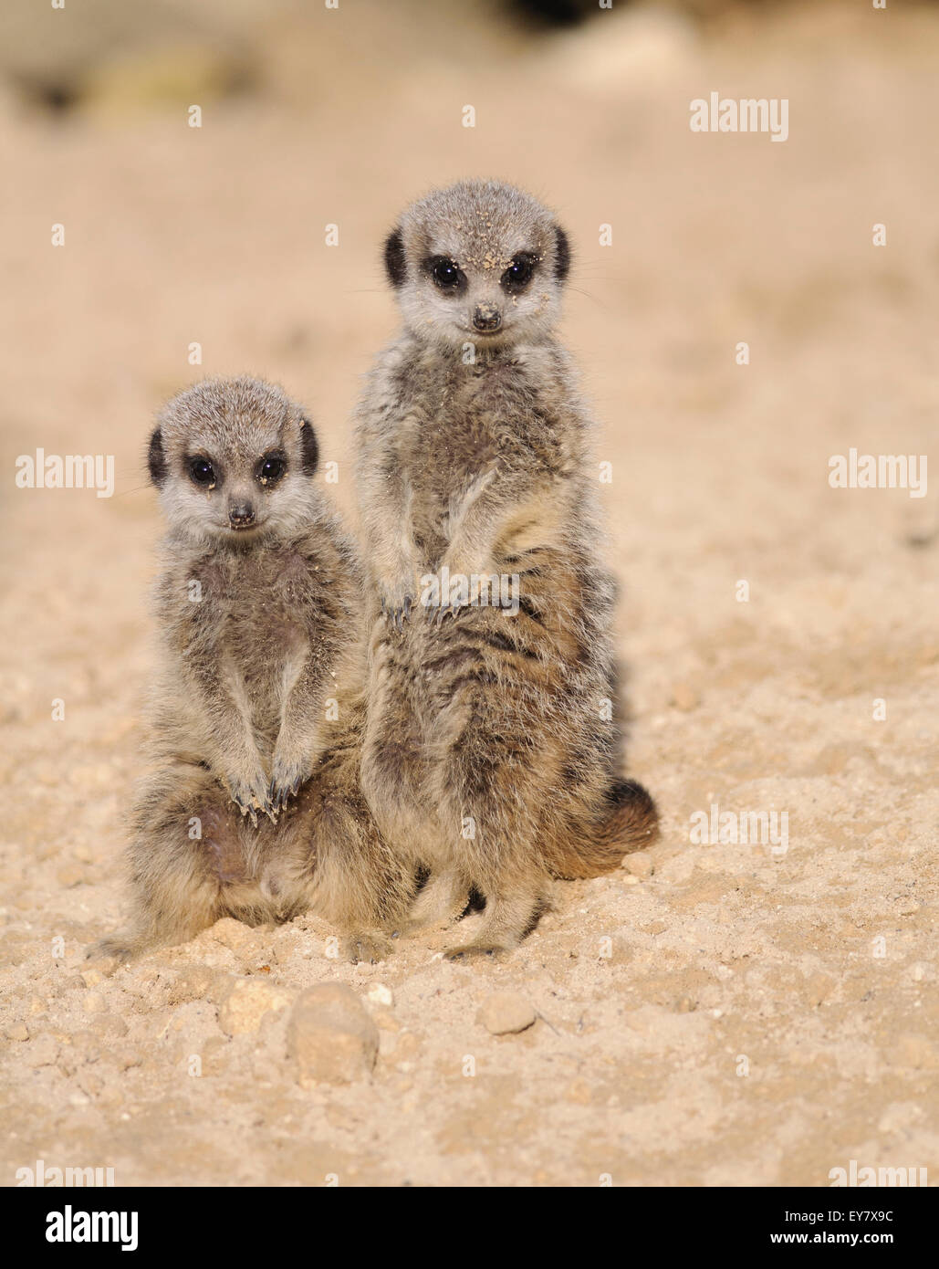 Two young meerkats / suricates (suricata suricatta), looking at the camera. Stock Photo