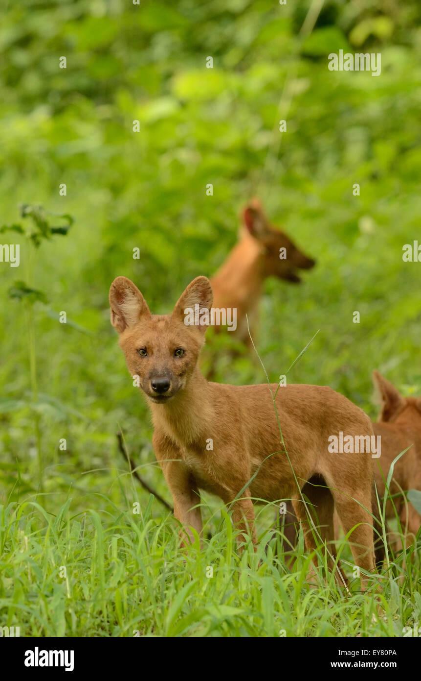 Dhole or Wild dog puppy Stock Photo