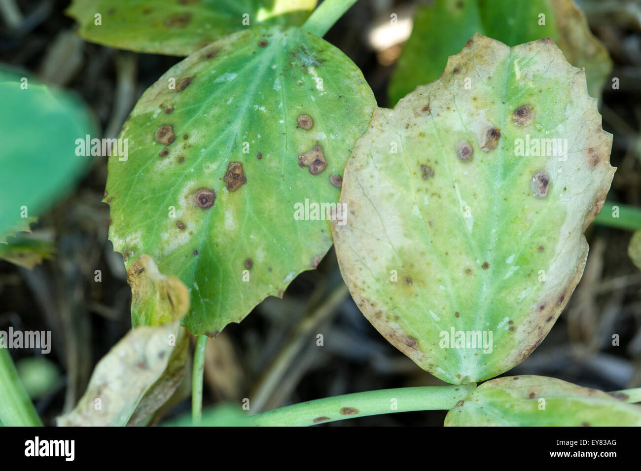 Leaf and stem blight on peas - Stock Image