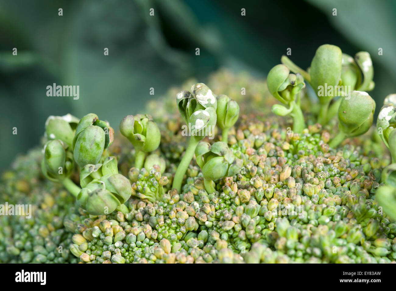 'Stags head' symptoms of white rust disease on broccoli - Stock Image