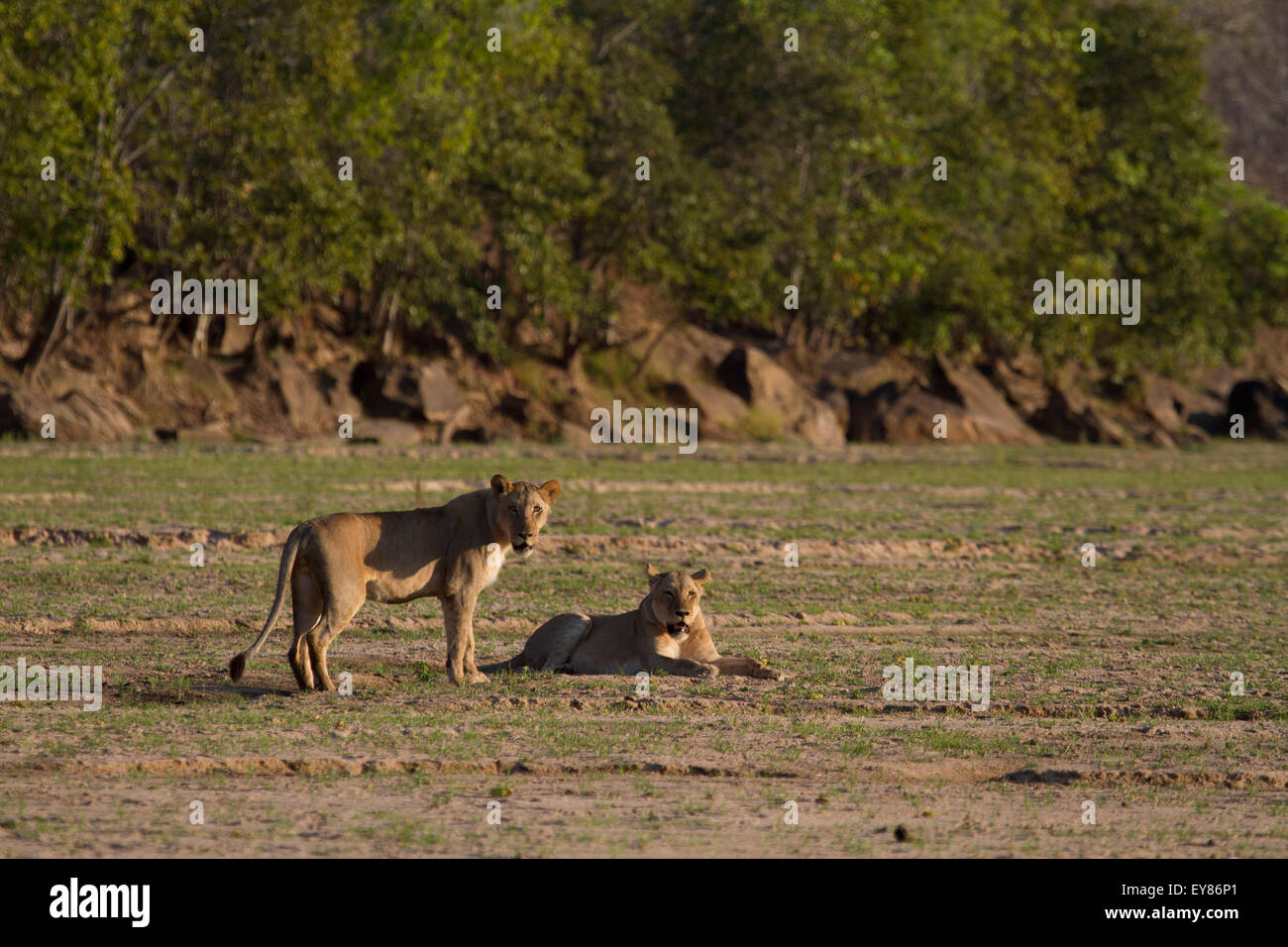 Two Lioness in a dry river bed. Panthera leo Stock Photo