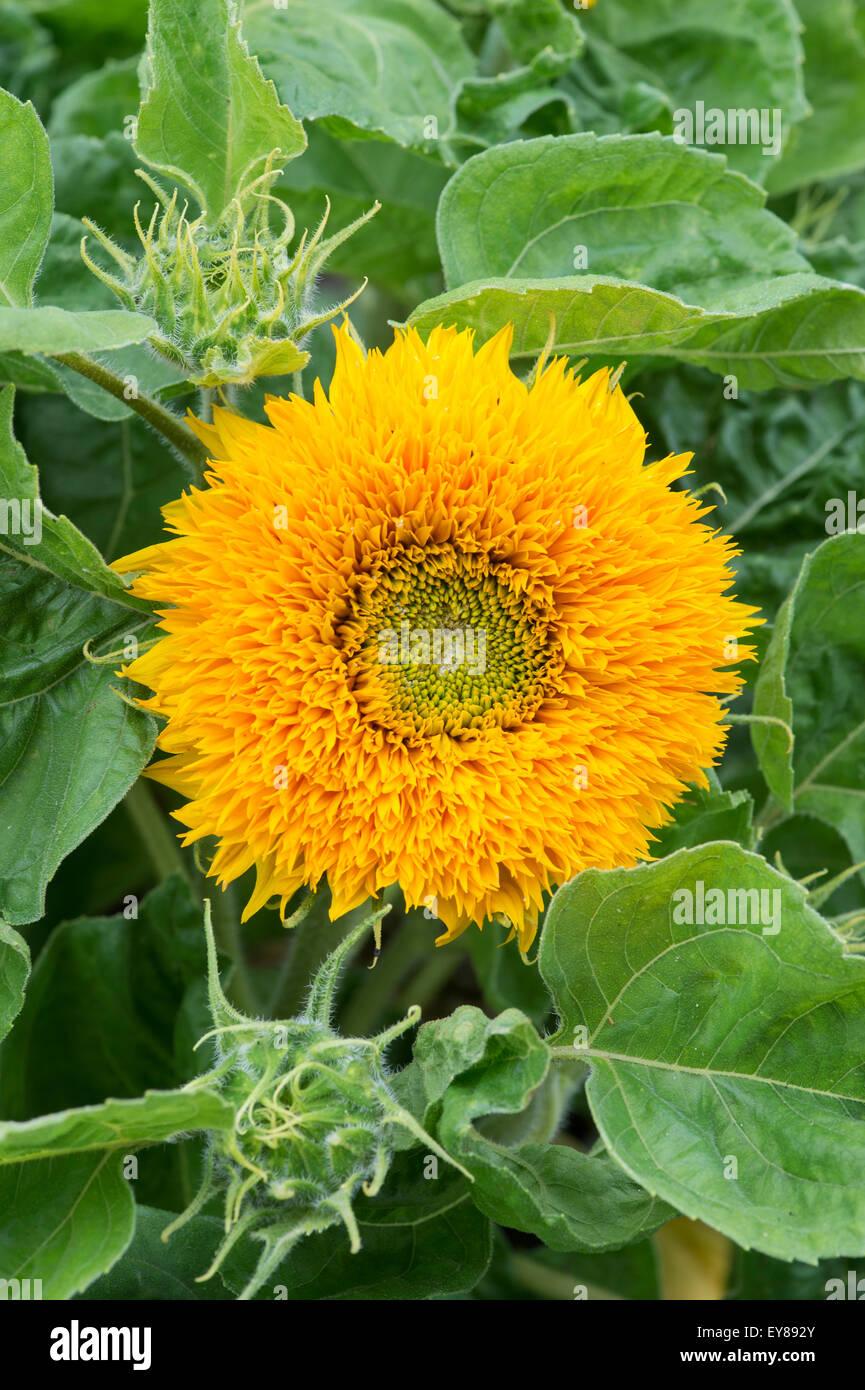 Helianthus annuus. Sunflower 'Sunshot Golds Mixed' - Stock Image