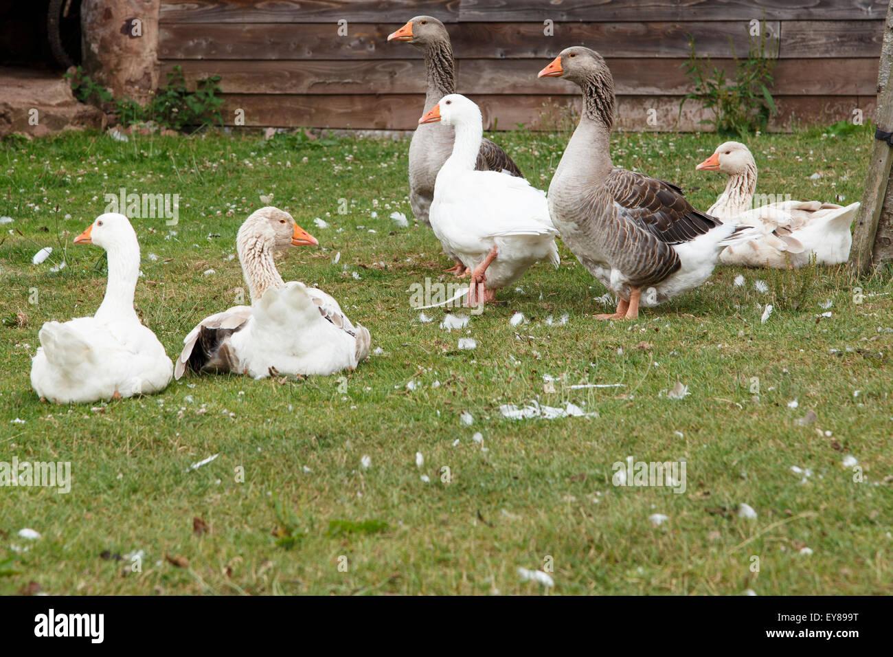 Pilgrim geese in farmyard - Stock Image