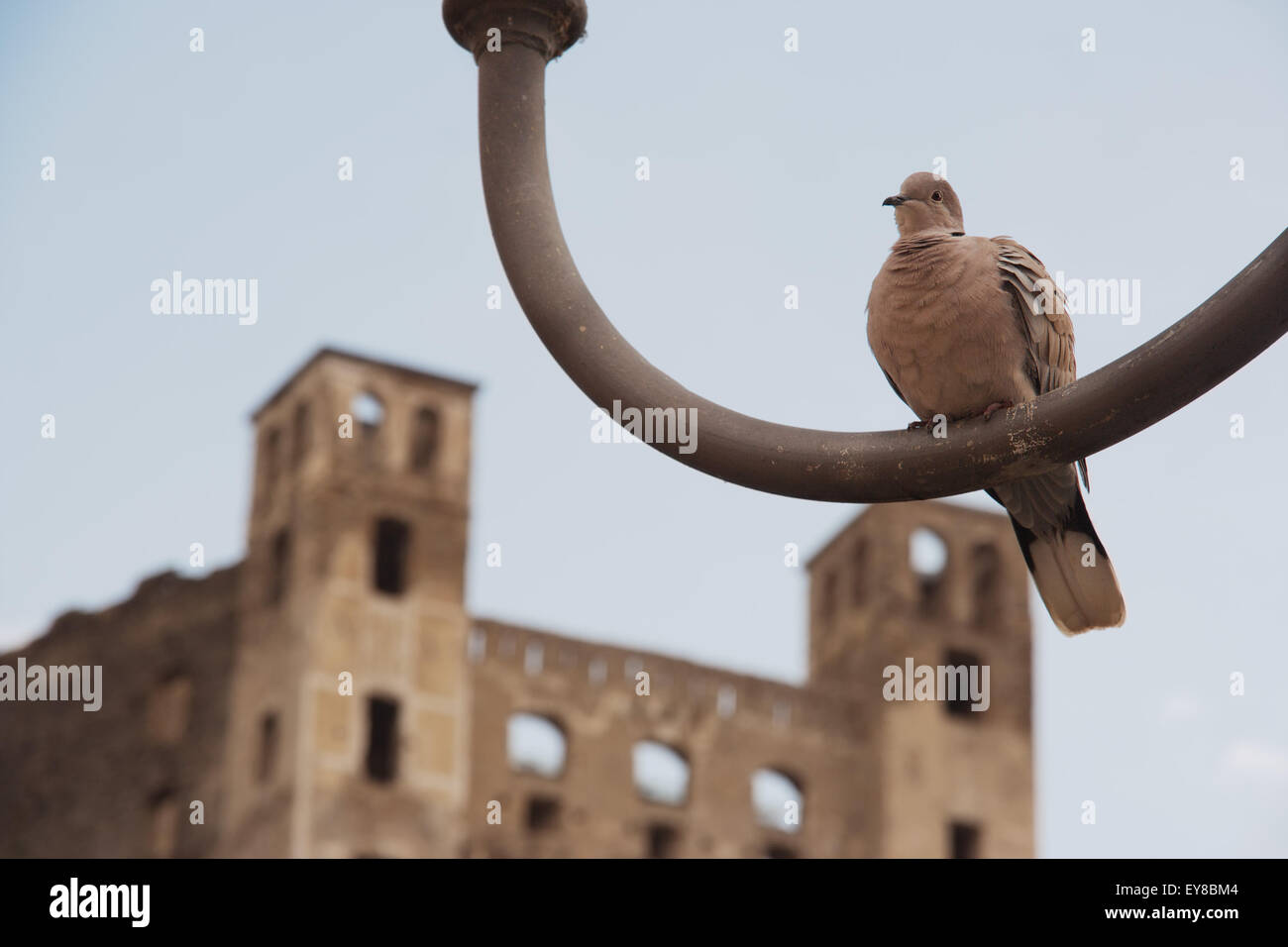 Eurasian collared dove, latin name Streptopelia Decaocto, resting alone on an iron lamp ruined castle in background - Stock Image