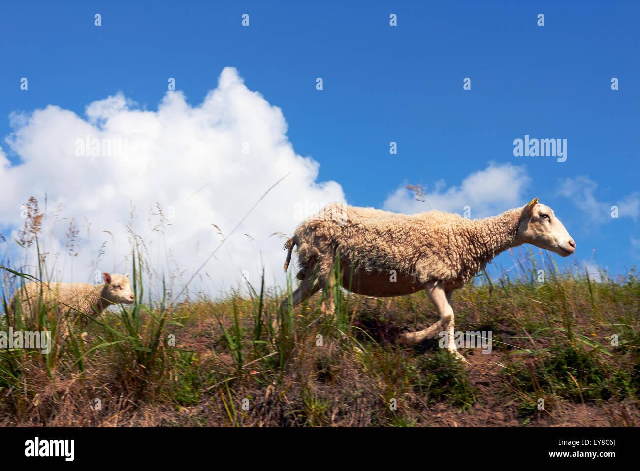 lamb and ewe in meadow - Stock Image