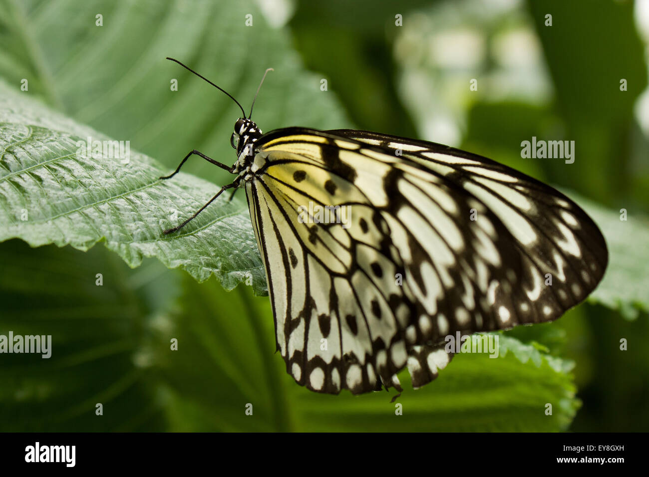 Idea leuconoe - Paper kite, butterfly - Stock Image