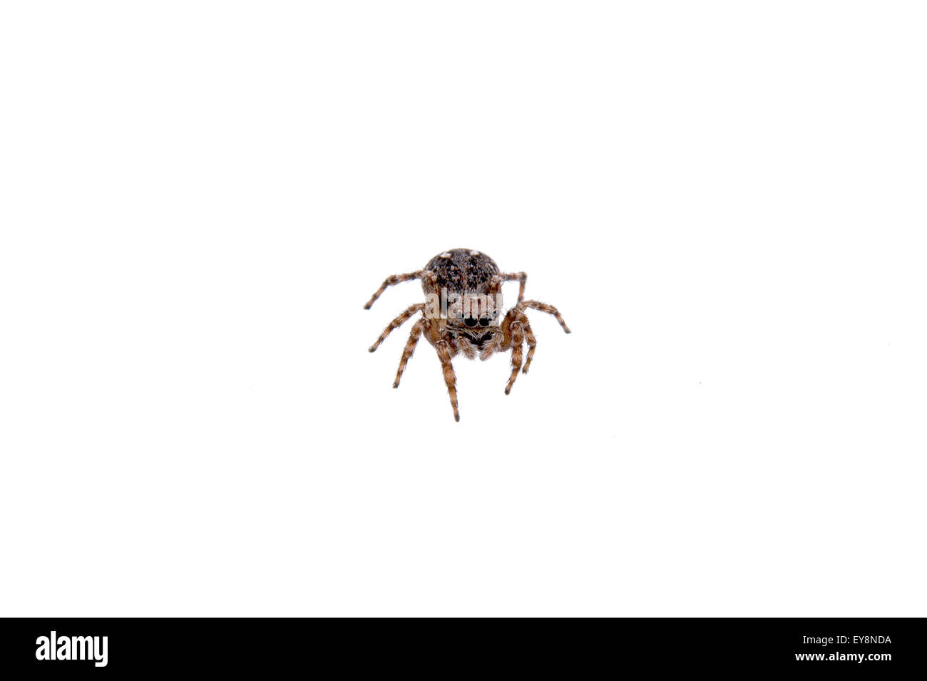 Brown spider isolated on a white background - Stock Image