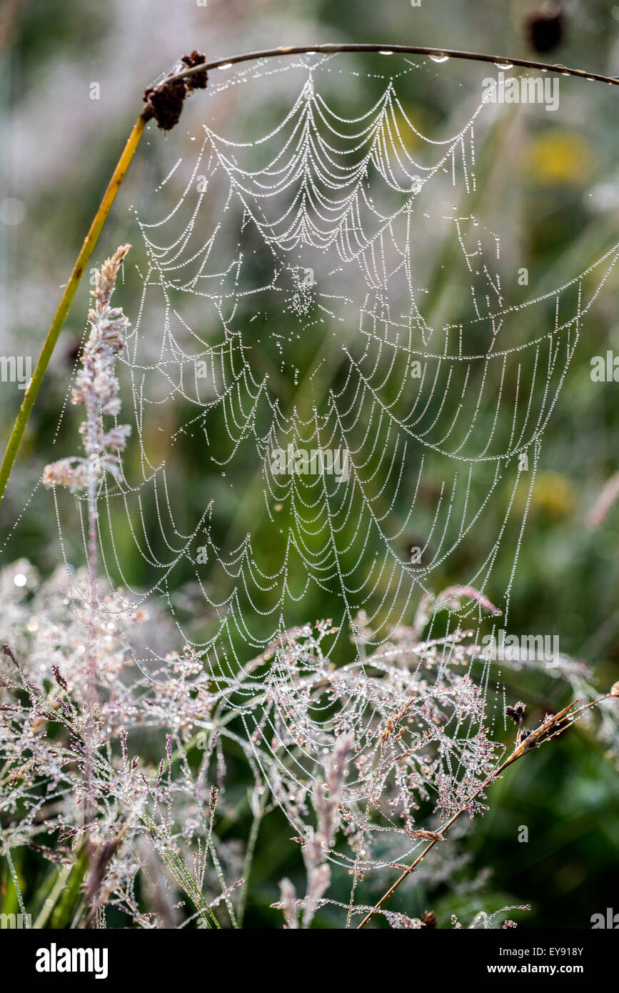 Spider's web / spiderweb / spiral orb web covered in dew waterdrops in meadow - Stock Image