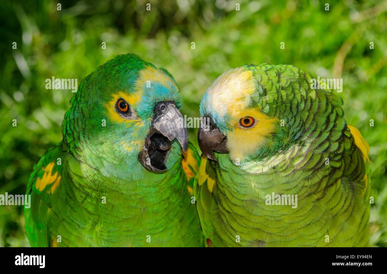 Two Blue Fronted Amazon Parrots Amazona Aestiva Stock Photo